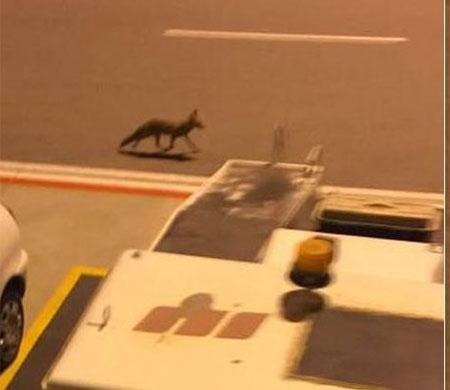 Adnan Menderes Havalimanı'nda aprona tilki girdi